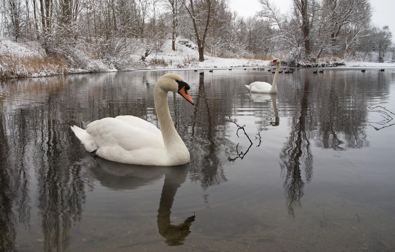 Photo wallpaper winter, water, snow, birds, nature, pair, swans