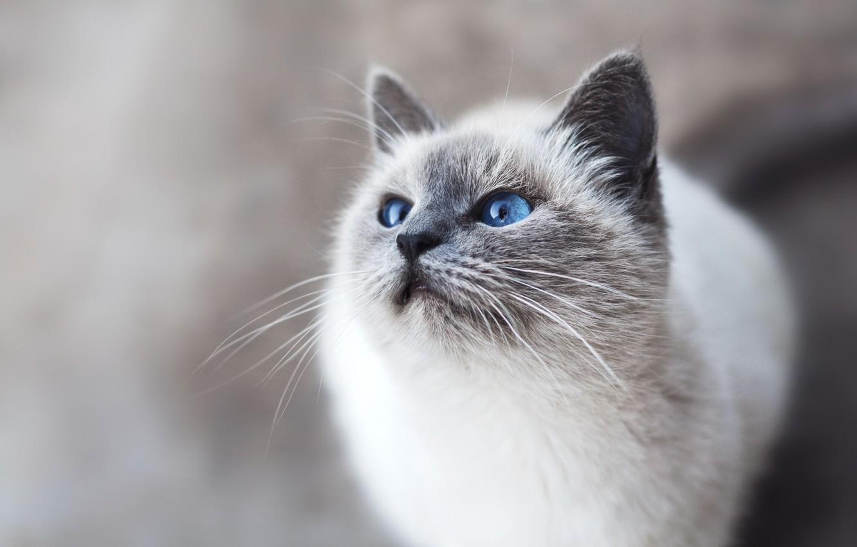 Photo wallpaper cat, eyes, mustache, look, blue eyes