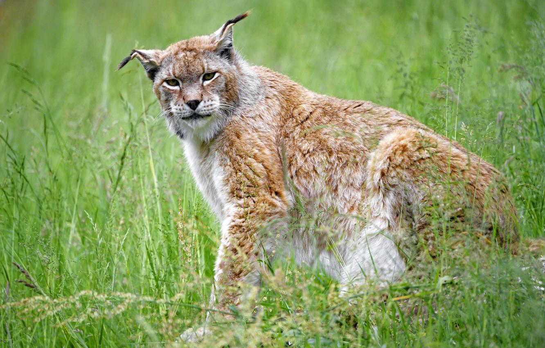 Photo wallpaper grass, predator, lynx