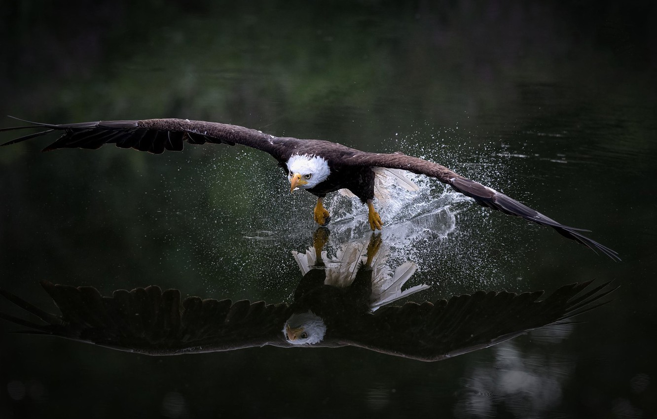Photo wallpaper look, water, flight, squirt, nature, reflection, the dark background, bird, wings, eagle, flies, the rise, …