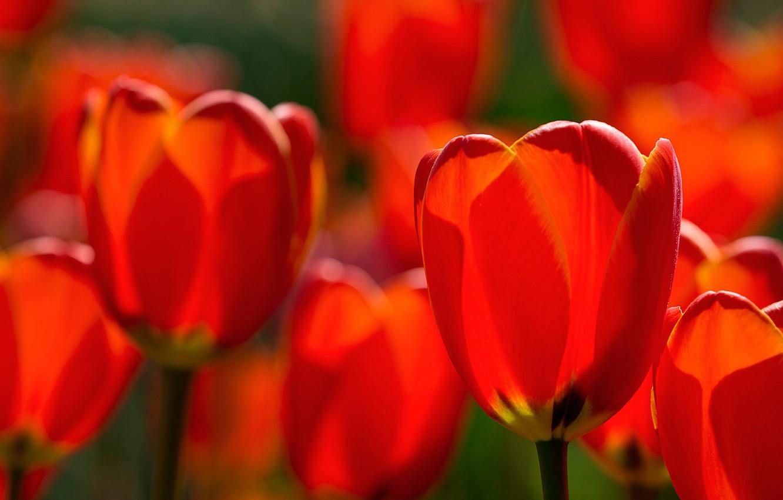 Photo wallpaper macro, tulips, red, buds, bokeh