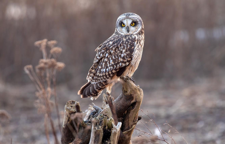 Photo wallpaper nature, background, owl, bird, snag, bokeh