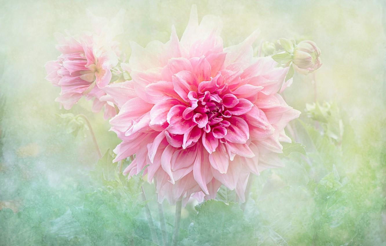 Photo wallpaper flower, summer, drops, macro, background, pink, treatment, Dahlia