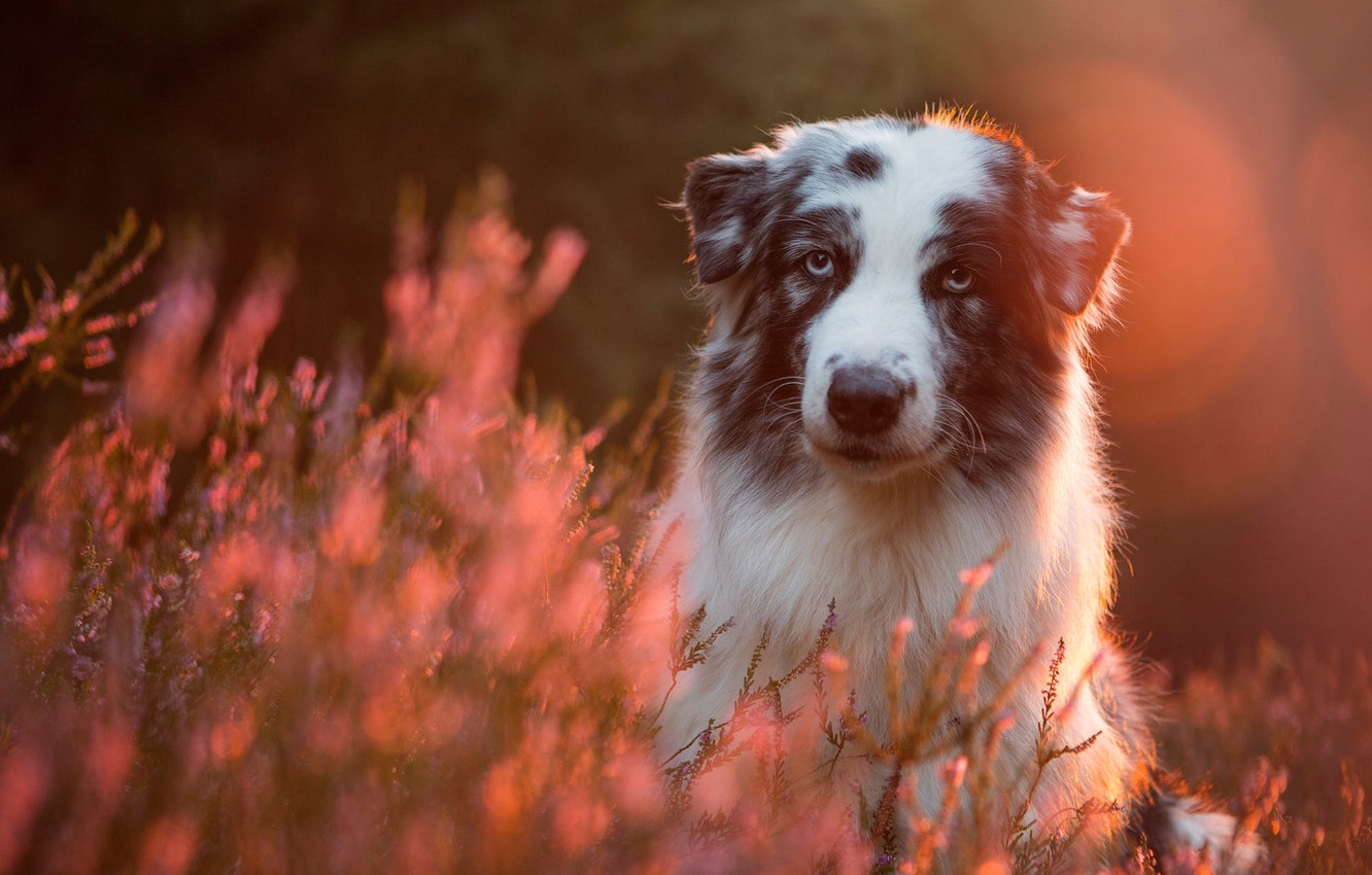 Photo wallpaper forest, look, face, light, flowers, nature, pose, glare, Park, background, pink, glade, portrait, dog, the …