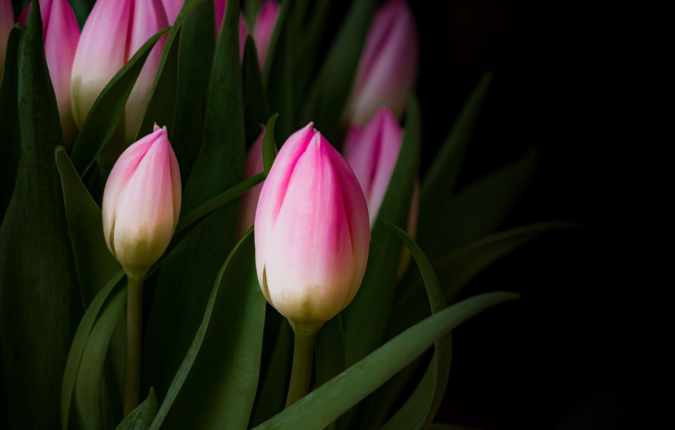 Photo wallpaper flowers, background, black, tulips, pink