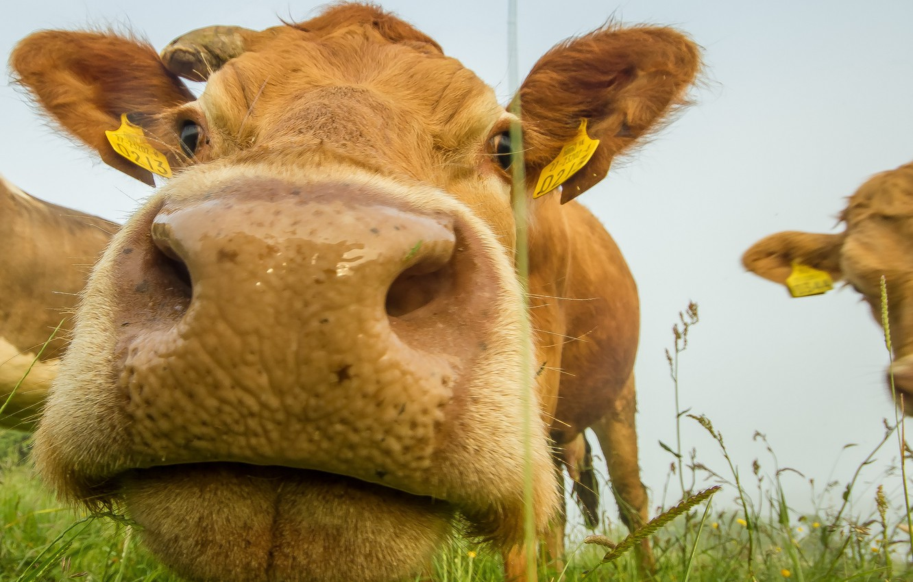 Photo wallpaper face, cow, cattle