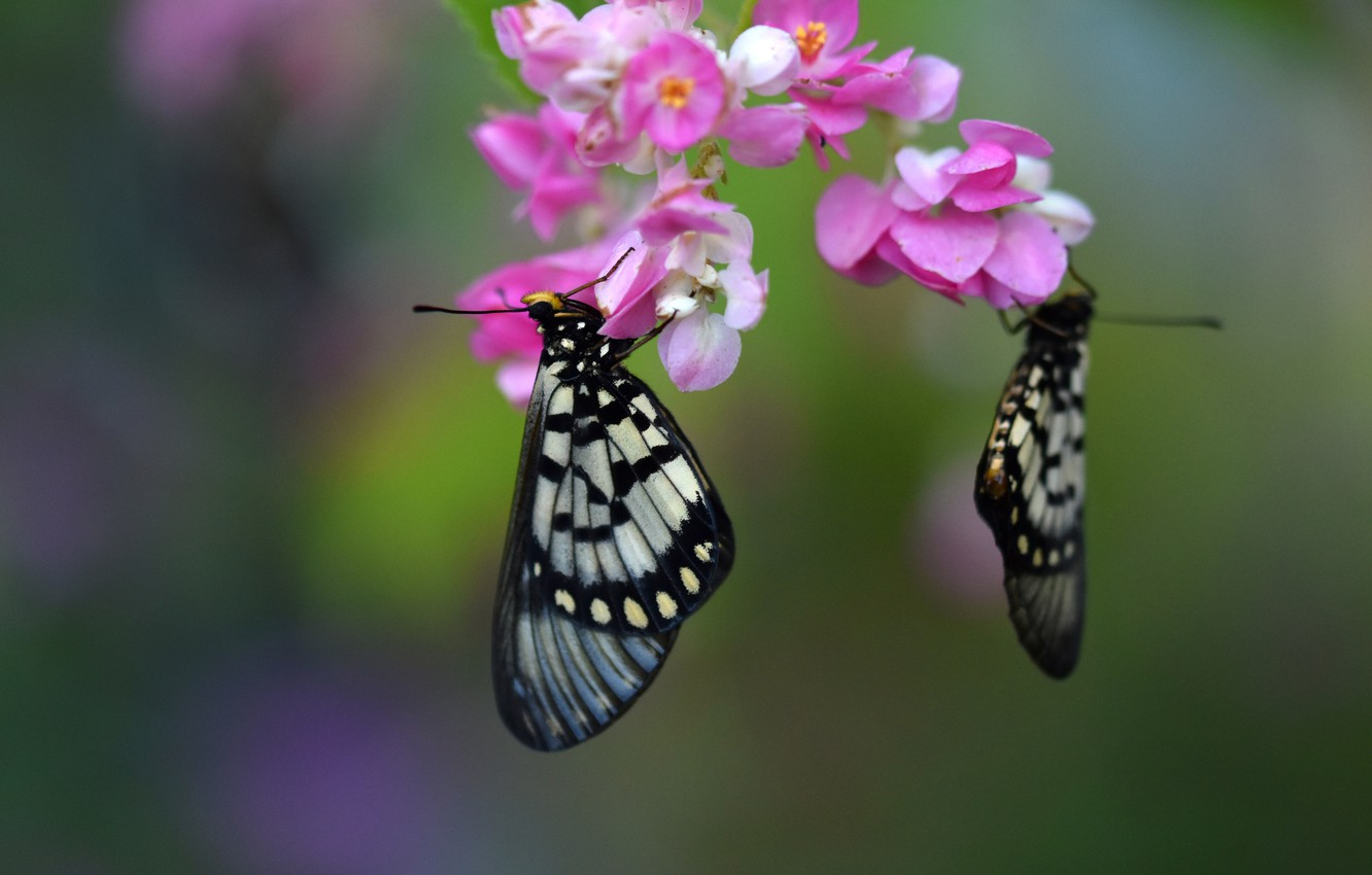 Photo wallpaper macro, butterfly, flowers, background, pair