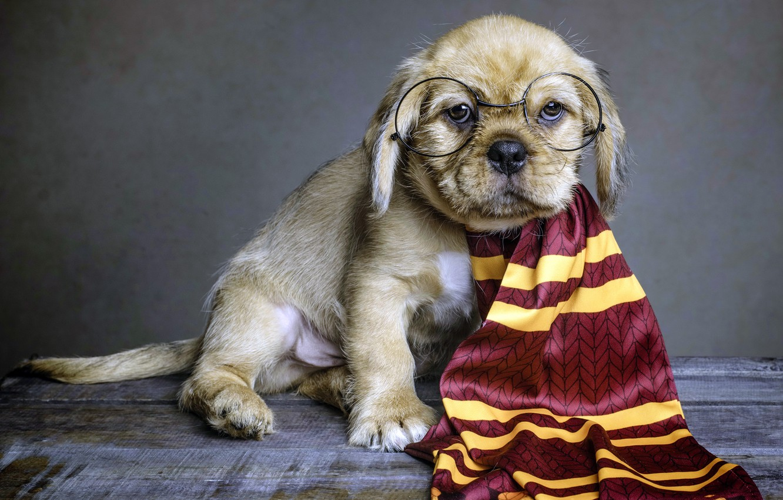 Photo wallpaper dog, scarf, glasses, puppy