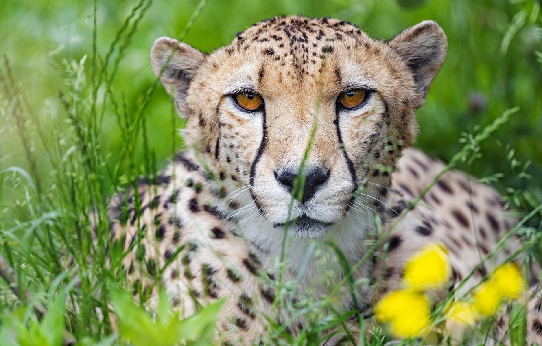 Photo wallpaper grass, portrait, predator, Cheetah