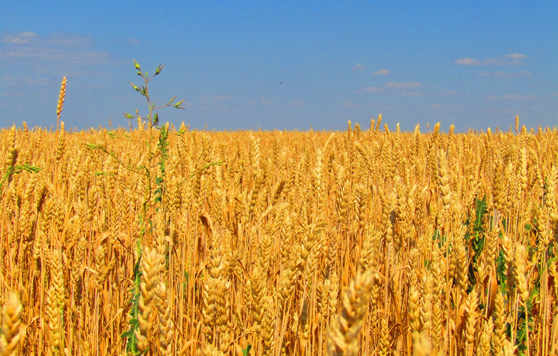 Photo wallpaper field, the sky, clouds, grain, harvest, bread