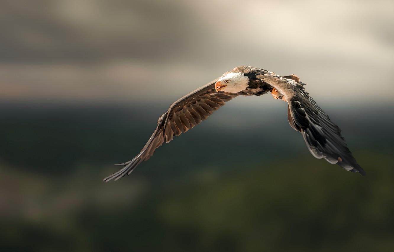 Photo wallpaper flight, nature, background, bird, eagle, wings, eagle, flying, bald eagle, the scope
