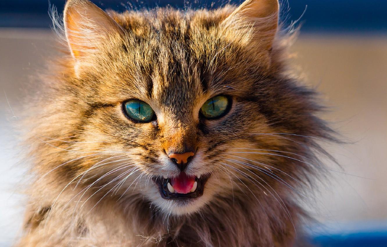 Photo wallpaper muzzle, fluffy cat, meows