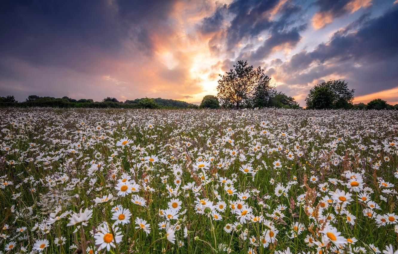Photo wallpaper field, summer, chamomile