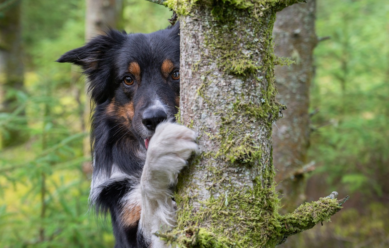 Photo wallpaper look, face, tree, paw, dog, The border collie