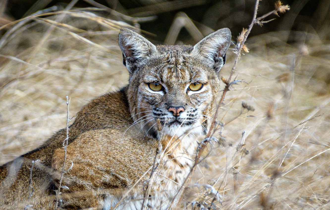 Photo wallpaper grass, look, face, lynx, wild cat