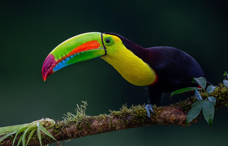 Photo wallpaper background, bird, branch, beak, Toucan, Iridescent Toucan