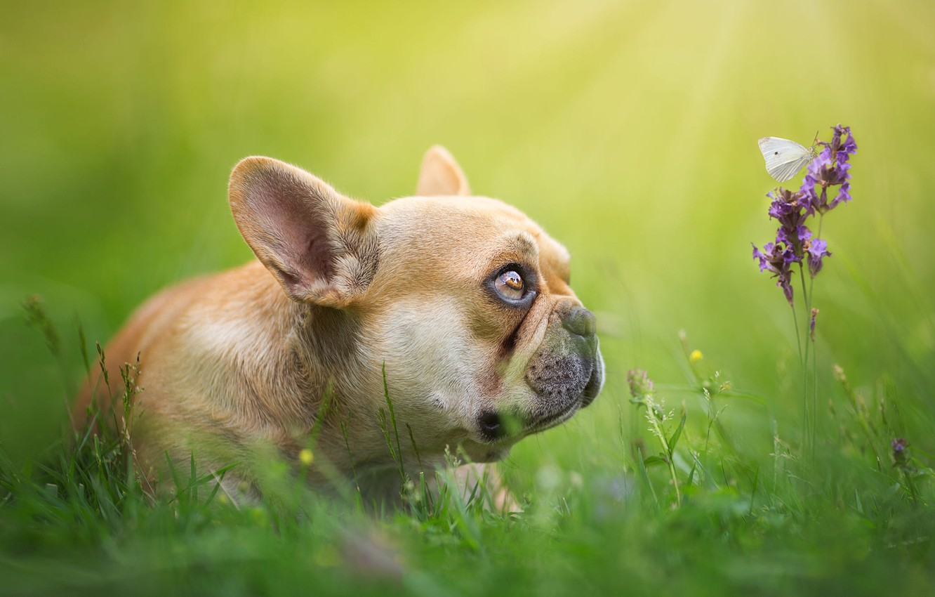 Photo wallpaper greens, grass, look, light, flowers, butterfly, glade, spring, baby, puppy, bulldog, profile, insect, face, green …