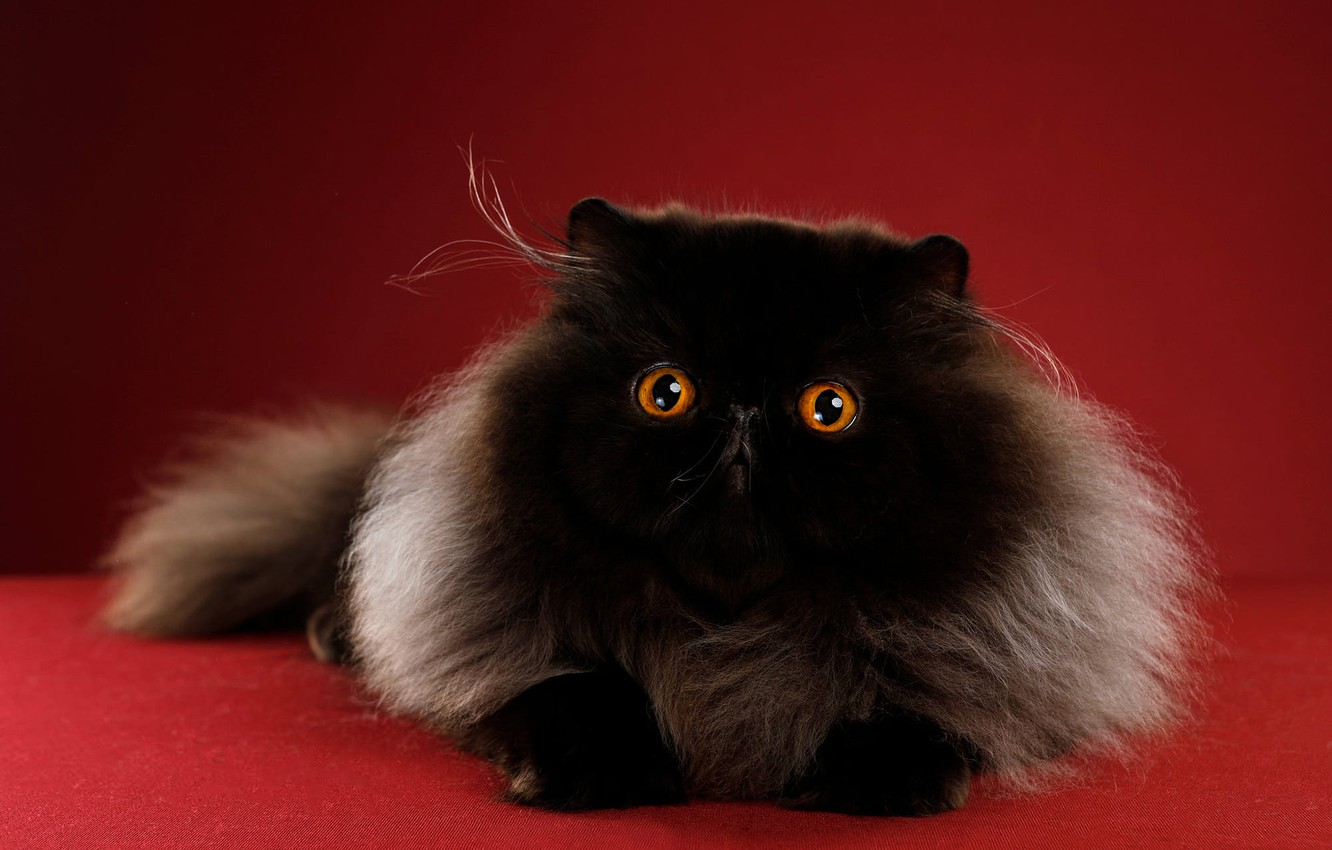 Photo wallpaper cat, cat, look, pose, background, black, muzzle, miracle, extreme, Studio, бабайка