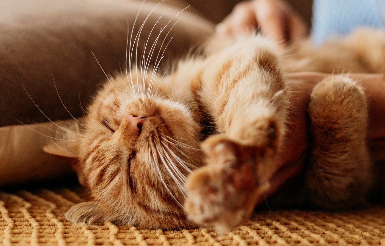 Photo wallpaper cat, cat, relax, legs, red, muzzle, cat