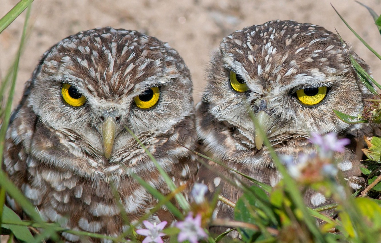 Photo wallpaper birds, pair, owls, owls