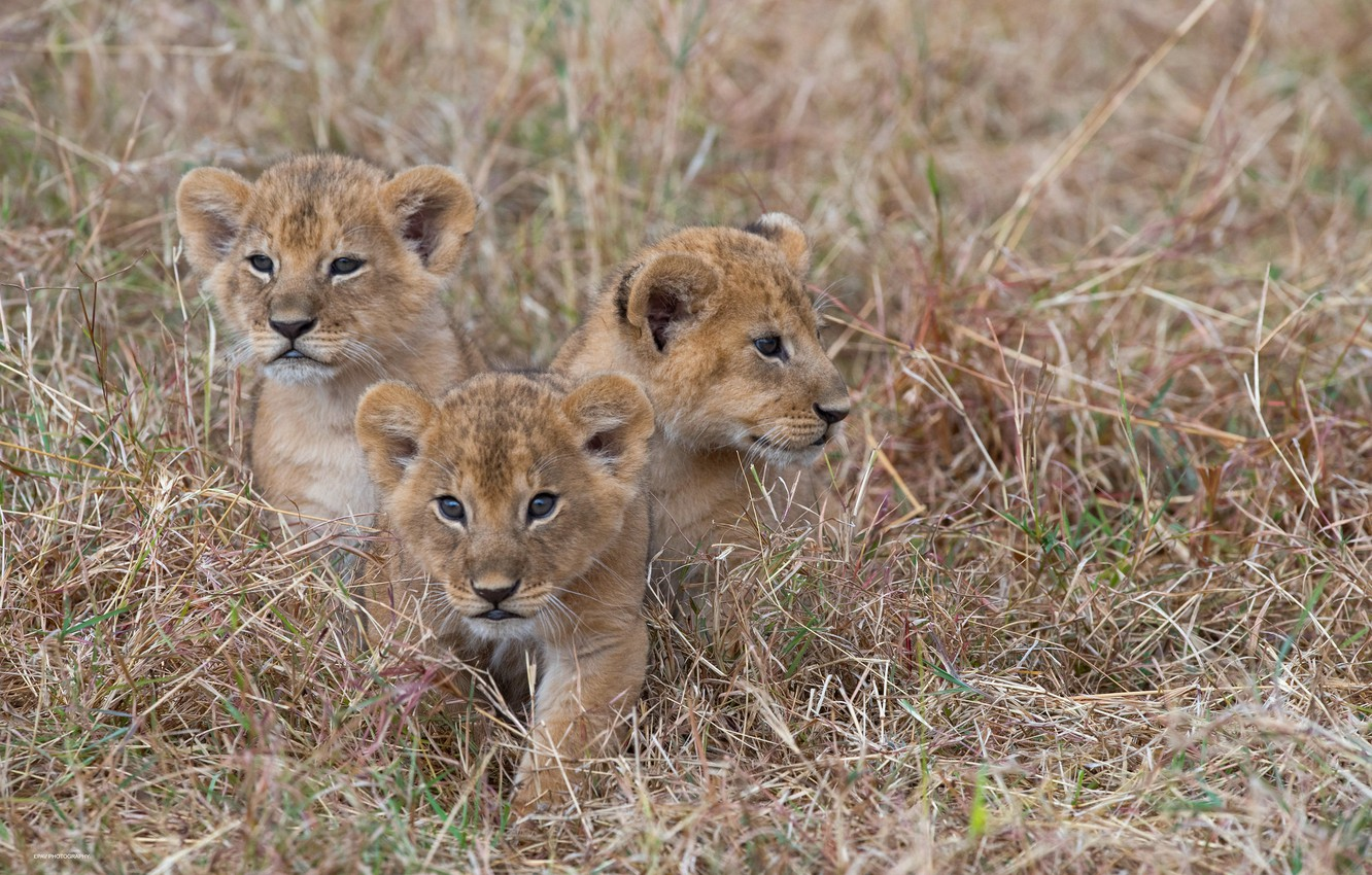Photo wallpaper grass, kittens, wild cats, the cubs, trio, cubs, Trinity