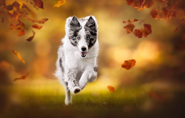 Photo wallpaper autumn, leaves, dog, blur, running, bokeh