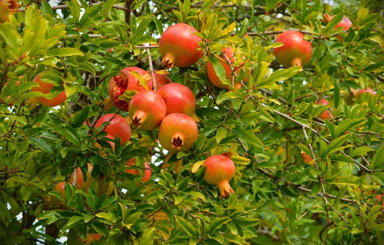 Wallpaper Pomegranates Grenades Pomegranate Tree Images For Desktop Section Priroda Download