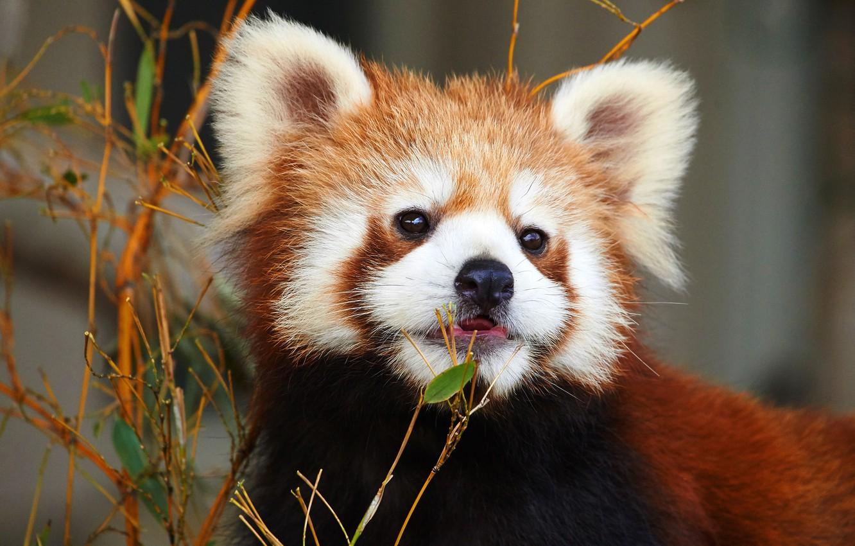Photo wallpaper animals, face, nature, portrait, red Panda, zoo, red Panda