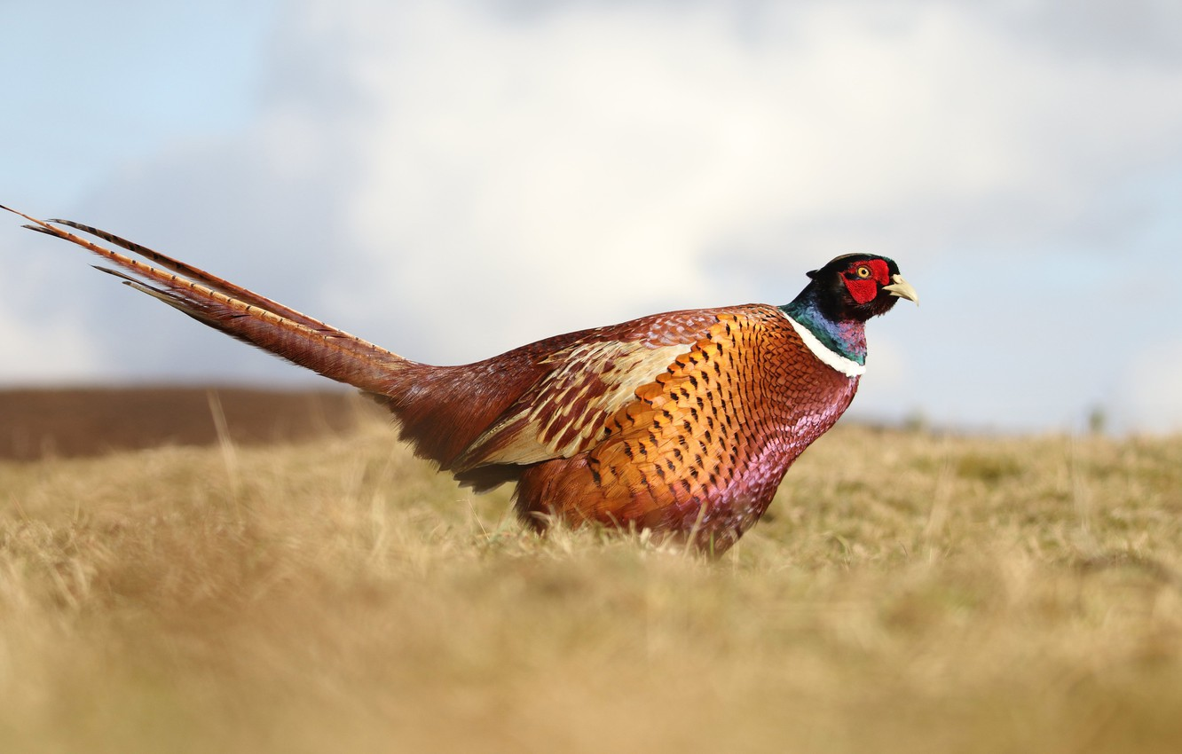 Wallpaper Field The Sky Nature Bird Pheasant Images For