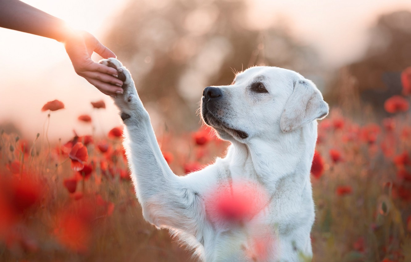 Photo wallpaper field, look, face, light, flowers, nature, pose, each, paw, Maki, hand, portrait, dog, friendship, red, …
