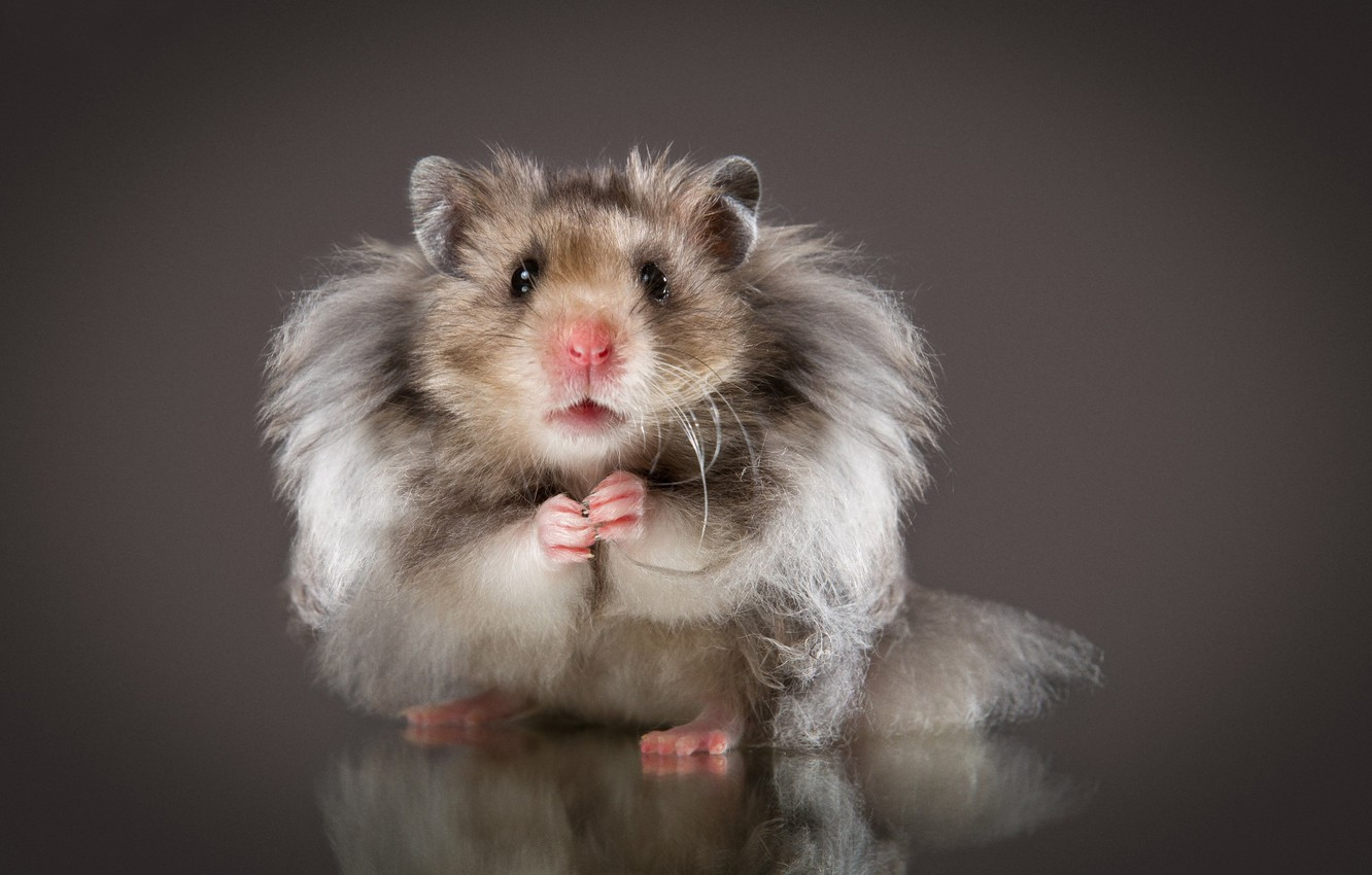 Photo wallpaper look, background, hamster, fluffy, rodent, Natalia Lays, The Syrian hamster
