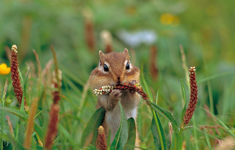 Photo wallpaper grass, nature, rodent, Asian Chipmunk