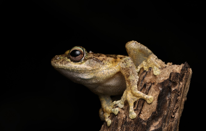 Photo wallpaper nature, tree frog, Litoria myola