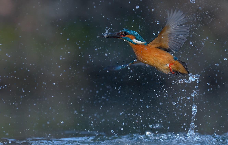 Photo wallpaper water, drops, squirt, bird, fish, Kingfisher, kingfisher, catch