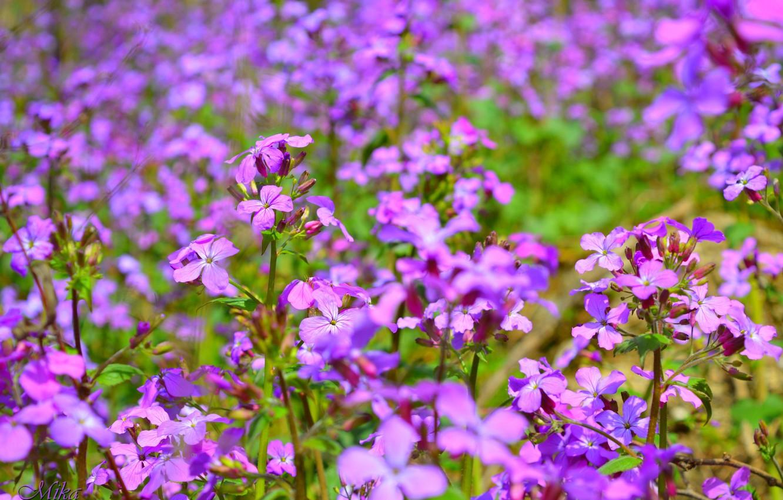 Photo wallpaper Spring, Spring, Purple flowers, Purple flowers