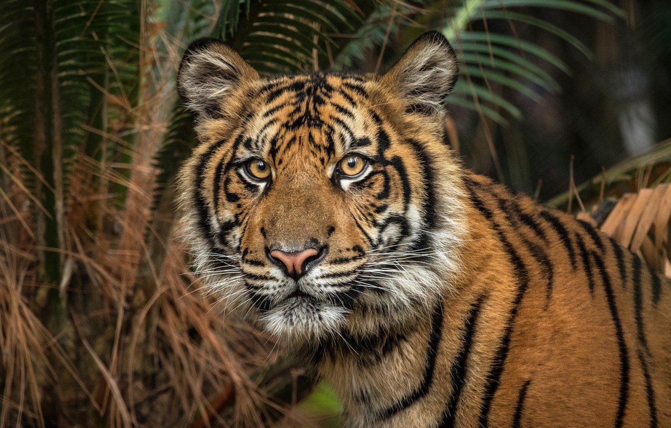 Photo wallpaper look, face, leaves, nature, tiger, Palma, background, dark, portrait