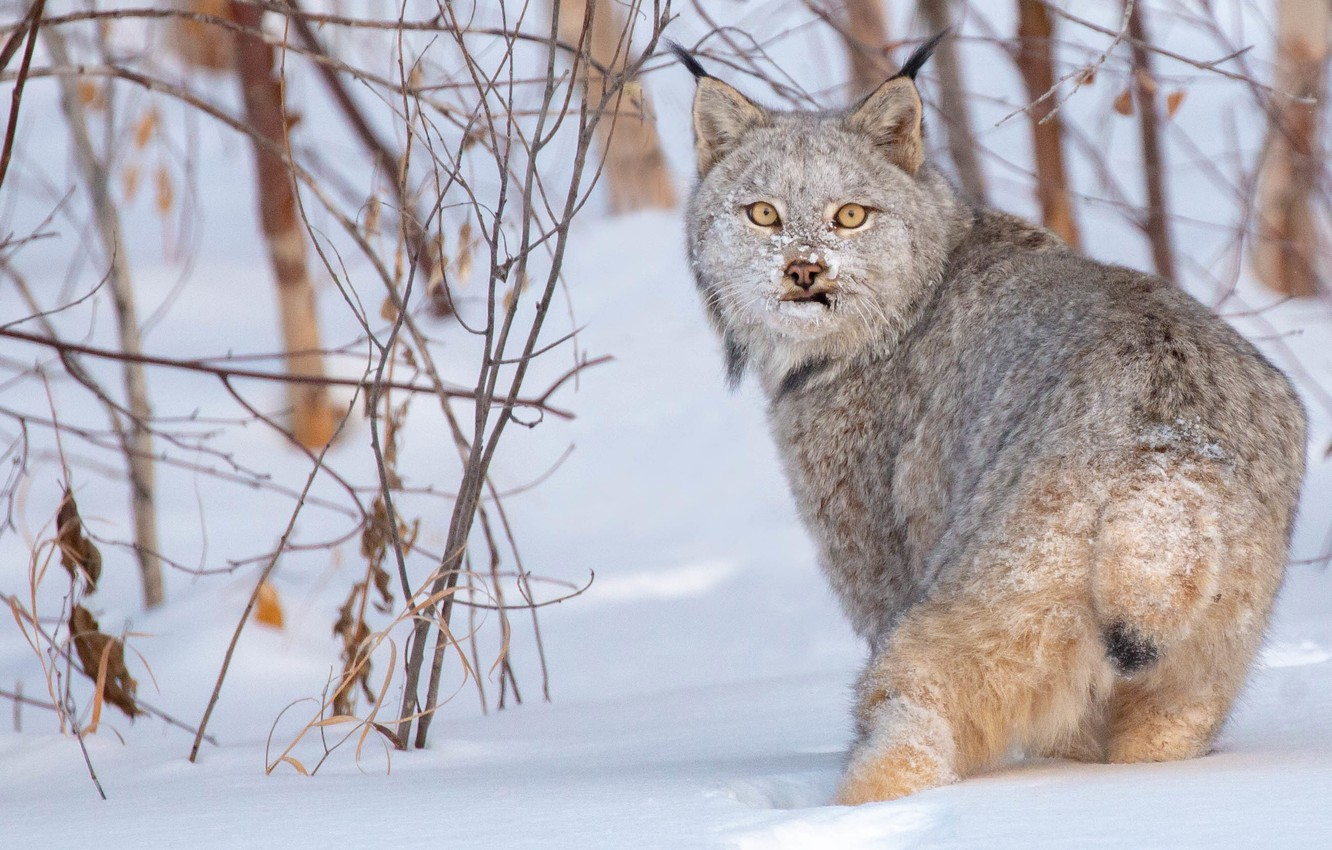 Photo wallpaper winter, look, snow, branches, lynx, wild cat, the bushes