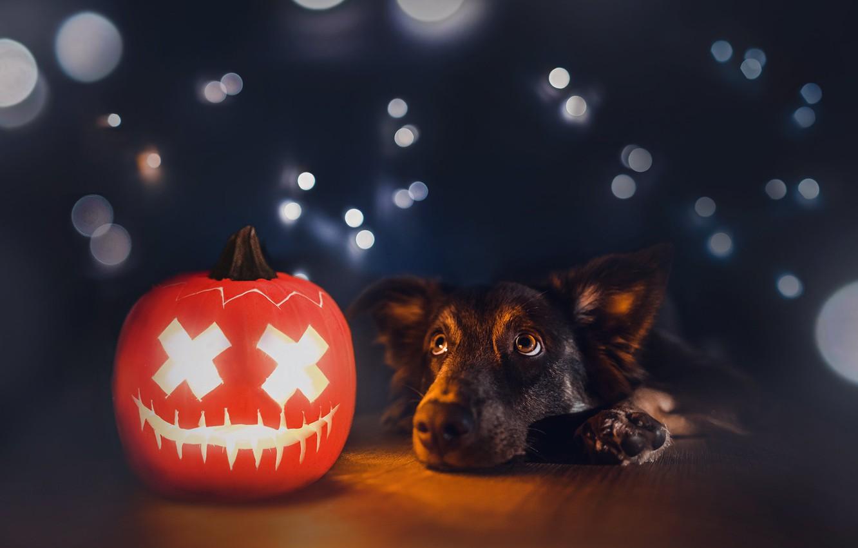 Photo wallpaper each, dog, pumpkin