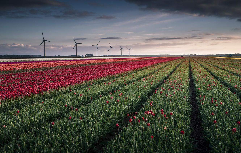 Photo wallpaper field, flowers, windmills