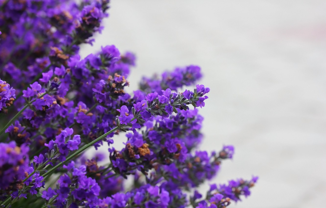 Photo wallpaper nature, background, lavender