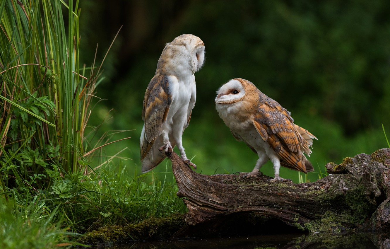 Photo wallpaper grass, look, birds, nature, background, owl, bird, two, pair, snag, owls, a couple, Duo, pond, ...
