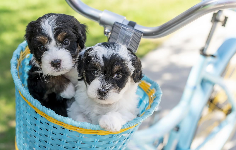 Photo wallpaper dogs, bike, puppies