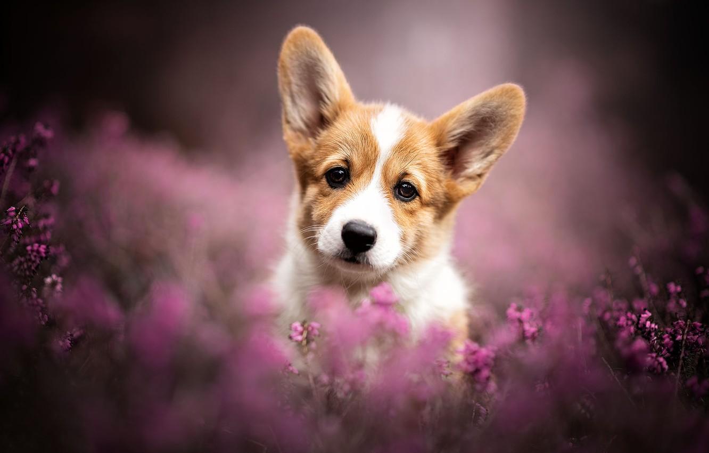 Photo wallpaper look, dog, blur, puppy, ears, face, doggie, Heather, Welsh Corgi