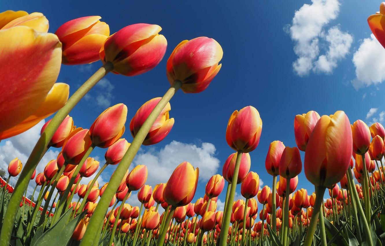 Photo wallpaper the sky, tulips, orange