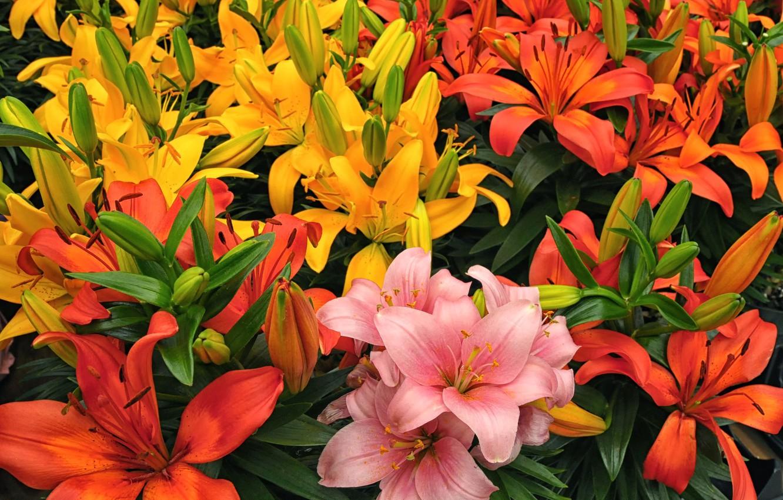 Photo wallpaper Lily, petals, colorful