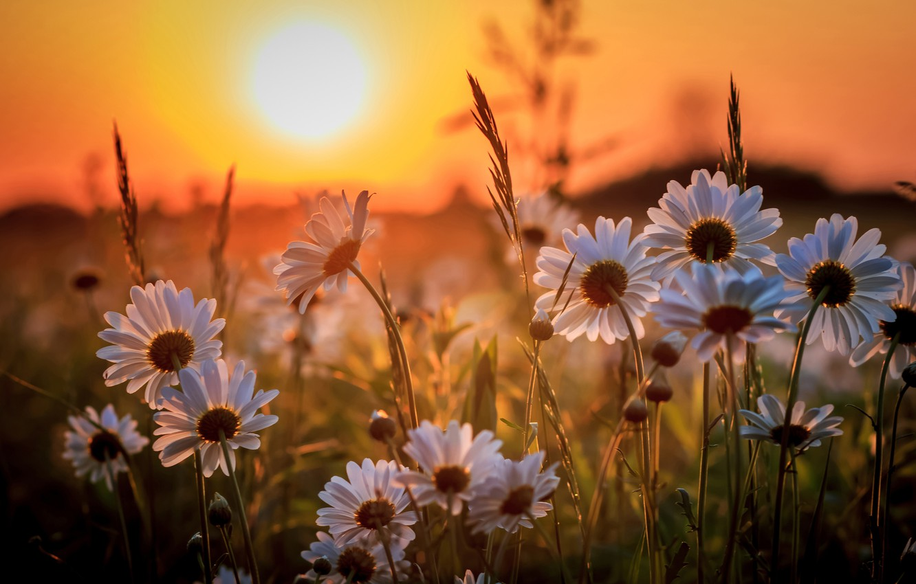 Photo wallpaper sunset, chamomile, meadow