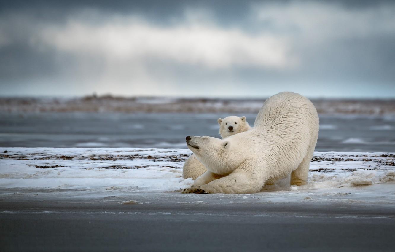 Photo wallpaper winter, snow, bears, pair, bear, white, polar bear, cub, mom, two, polar bears, stretching