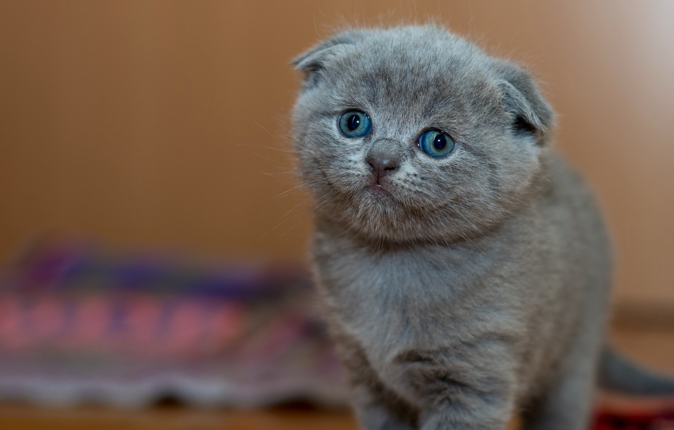 Photo wallpaper cat, look, pose, kitty, grey, background, wall, small, fold, baby, muzzle, cute, fabric, is, kitty, …