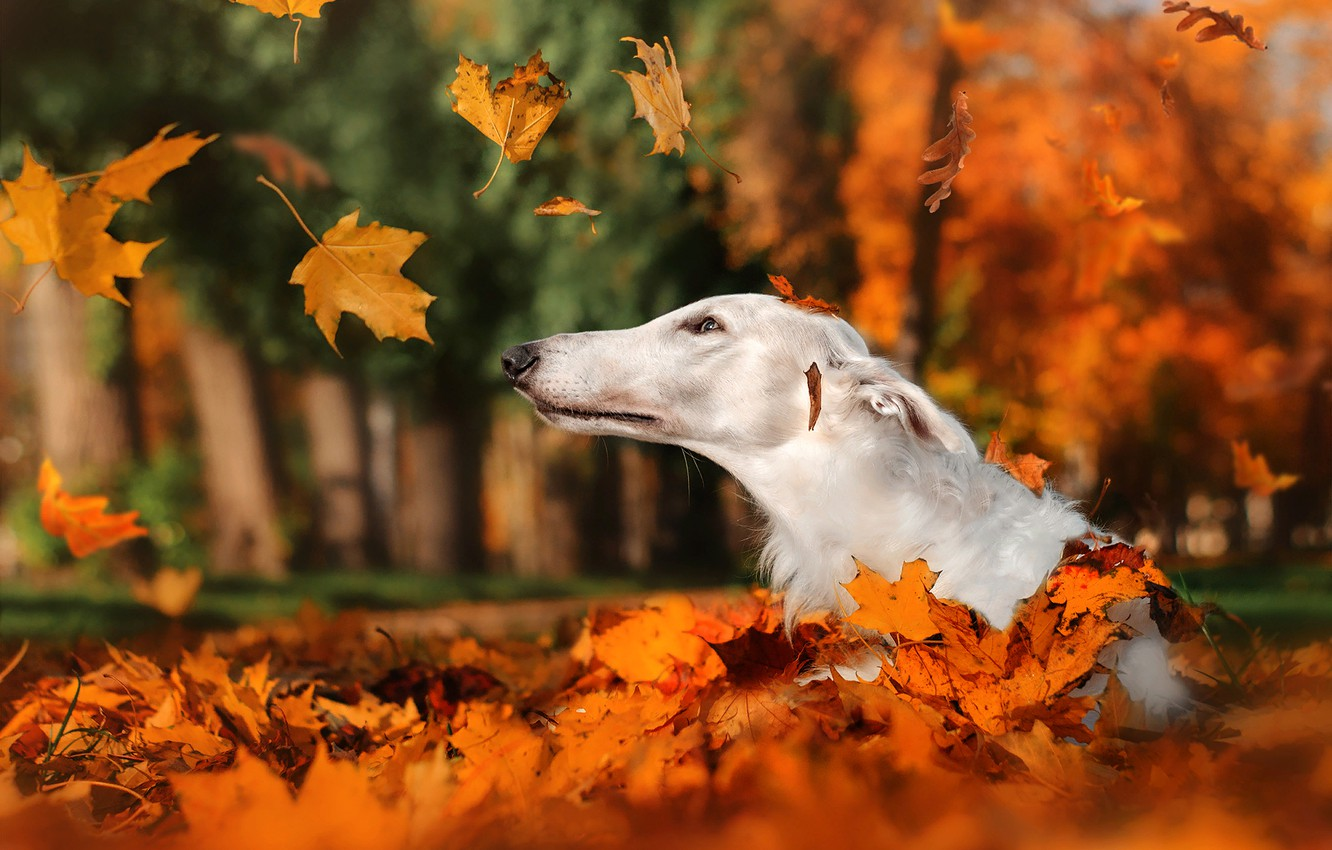 Photo wallpaper autumn, leaves, nature, Park, animal, dog, head, falling leaves, dog, Greyhound