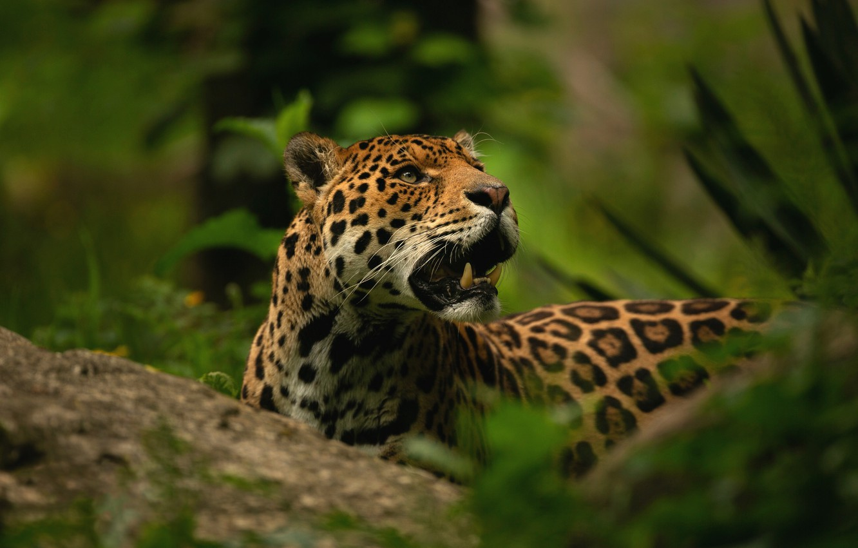 Photo wallpaper greens, face, stone, portrait, mouth, fangs, Jaguar, wild cat